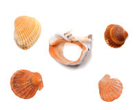 Broken rapana and seashells isolated on white background Stock Images