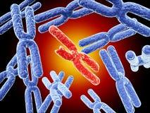 Broken red X chromosome and full blue X chromosomes Stock Photo