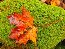 Broken red orange maple  leaf on mossy ground. Vivid autumn colors. Royalty Free Stock Photos