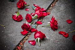 Broken rose petals Stock Photography