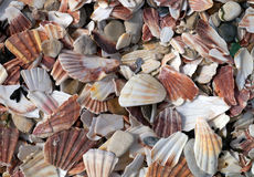 Broken scallop shells litter beach. Stock Images
