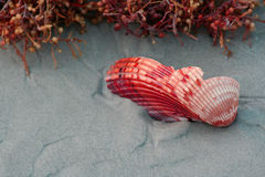 Broken Sea Shell. A broken red sea shell on the beach next to some sea weed Royalty Free Stock Photo