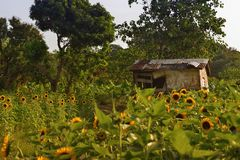 Broken shabby house sunflower field Royalty Free Stock Images