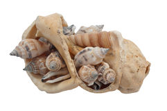 Broken shell filled with whelks Stock Images