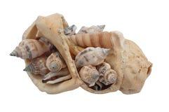 Broken shell filled with whelks. Broken sea shell filled with the shells of whelks Stock Images