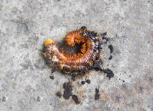 Broken shell millipede Royalty Free Stock Photography