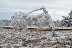 A broken snowtree. Snowy tree on Ai-Petri mountain Royalty Free Stock Photos