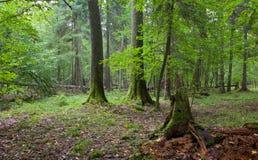 Broken spruce stump partly declined Stock Photos