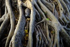 Broken statue of Buddha lying amongst mighty tree roots near Wat Mahathat in Ayutthaya, Thailand. Stock Images