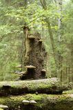 broken svampar spruce Arkivfoto