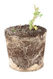 Broken tomato plant roots in soil Stock Photo