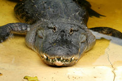 Broken tooth alligator Royalty Free Stock Photography
