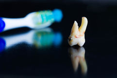 Broken tooth after extraction with toothbrush in the background Royalty Free Stock Photography
