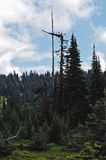 Broken top. Storm-damaged pine tree leans its broken top on the branchless dead tree next to it Royalty Free Stock Photos