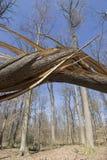 Broken tree. Broken oak tree after a storm Royalty Free Stock Images