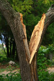 The broken tree Stock Photography