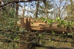 Broken Tree Royalty Free Stock Image
