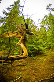 Broken tree. Green fir forest and a broken tree Royalty Free Stock Photo