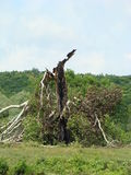 broken tree Royaltyfria Bilder