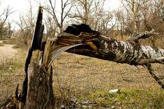broken tree Arkivbild