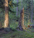 Broken tree. Scene from a Swedish forest. Broken pine tree in the last sunlight of the day Royalty Free Stock Photography
