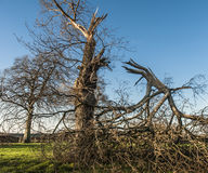 Broken Tree. Aftermath of a storm with main branch of tree broken off Royalty Free Stock Photos