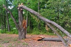 Broken tree. A broken tree in Bialowieza national Park in eastern Poland Royalty Free Stock Photography