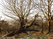 Broken tree. Bizarre broken tree with an interesting shape Stock Photography