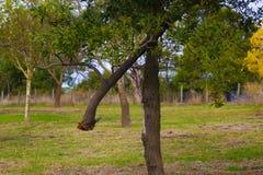 Broken tree. Branch in Mt Gambier Stock Images