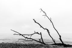Broken tree branches on the beach after storm. Sea black and white Royalty Free Stock Image