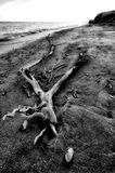 Broken tree. Branches and shells on the beach Stock Photo
