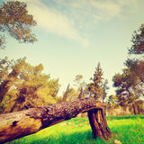 Broken Tree. On the Clearing in Israel, Retro Effect Royalty Free Stock Images