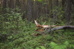 Broken tree. Close up of fallen broken tree in forest Royalty Free Stock Photography