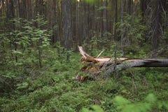 Broken tree Royalty Free Stock Photography