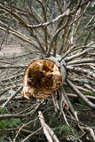Broken tree. Cross section of a pine tree felled in a wind storm Stock Photography