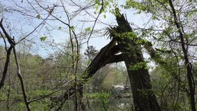Georgia, Island Ford Park, A broken tree on the banks of the Chattahoochee River. A broken tree damaged by the weather along the banks of the Chattahoochee River stock video