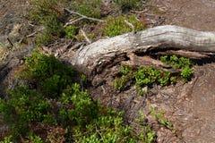 Broken tree. Death broken tree with blueberry shrub Stock Photography
