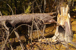 Broken tree. Broken evergreen tree in the forest royalty free stock images