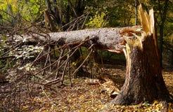 Broken tree. Broken evergreen tree in the forest Stock Images