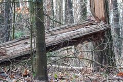The broken tree. In the forest Stock Image