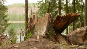 Broken Tree in the Forest. Autumn daytime. Smooth dolly shot stock footage