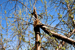 Broken tree. A broken tree in the forest, blooms with green leaves Royalty Free Stock Photos