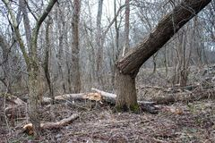 Broken tree. In the forest Royalty Free Stock Images