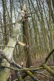 Broken tree in forest. Natural natural disaster Stock Photo