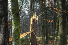 Broken tree. Broken forest tree after natural disaster Stock Image