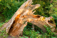 Broken tree in forest. Broken old tree in forest Stock Images