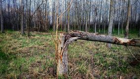 Broken. Tree in the forest. The picture maked with mobilephone Royalty Free Stock Image