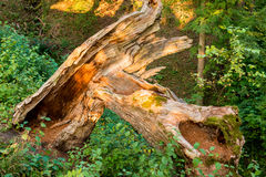 Broken tree in forest. In summer Royalty Free Stock Photography