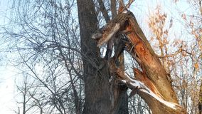 Broken tree in the forest tree trunk forest winter landscape dry branches Stock Photo