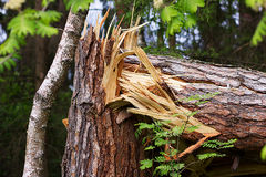 A broken tree in half. As a result of the hurricane Stock Photos